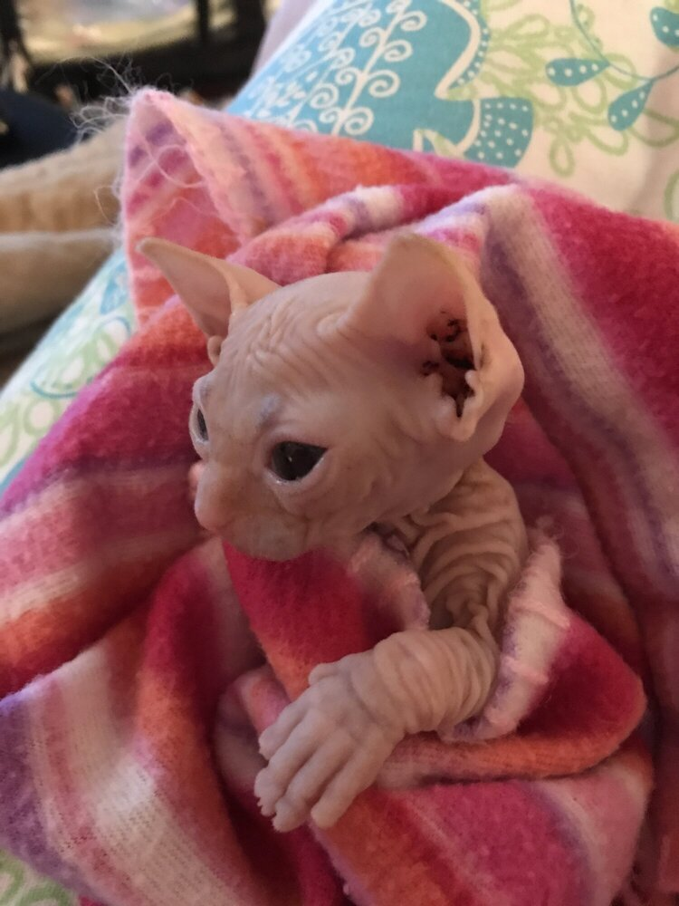 Shammi Sphynx kitten in a blanket