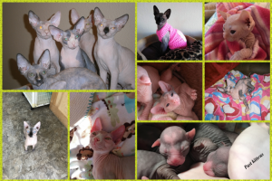 Shammi Sphynx Cattery Collage