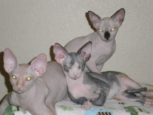 Shammi-Sphynx-Cats - Kittens