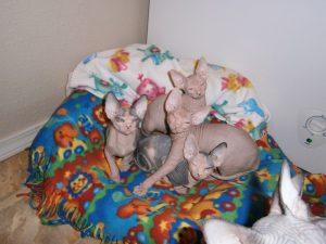 Shammi-Sphynx-Cats - Newborn Kittens
