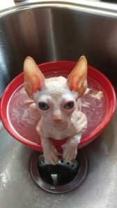 Shammi-Sphynx-Cats - taking a bath