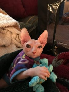 Shammi-Sphynx-Cats - purple coat